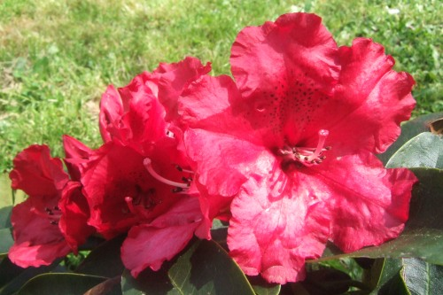 rhodendron, fleur, printemps, jardin